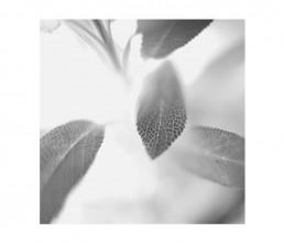 botany - aromatiche- black and white - macro photography