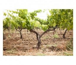 Tascante - vine tree - nature