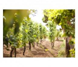 vineyard - grapes - Capofaro - Malvasia - Salina